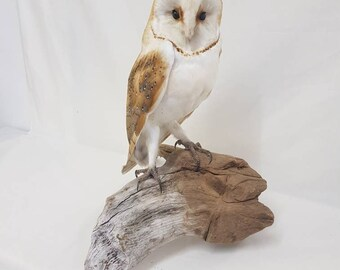 Taxidermy barn owl - Tyto alba