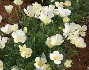 Poppy- White Linen- (California)- 500 Seeds