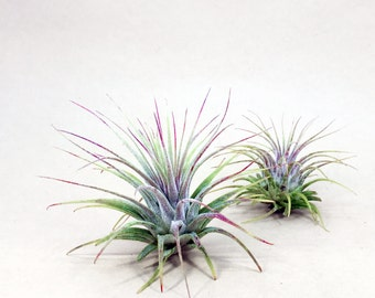 Tillandsia Ionantha // Air Plant // Hello Tilly Airplant