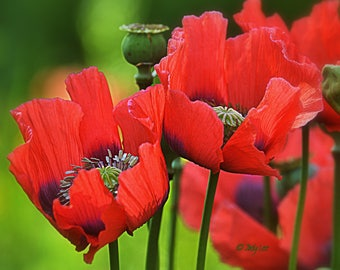 Poppies, Flower Photography, Nature Photography, Floral Wall Art, Wall art, home decor, Oriental Poppy