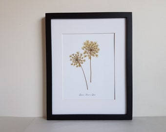 11x14 matted print from one of my original pressed Queen Anne's Lace herbarium specimen - botanical artwork