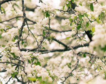 Spring Blossoms Photography Print Wall Art Botanical White Flower Tree Photo Feminine Decor Nature Floral Garden Modern