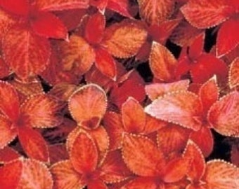 50+ Coleus Wizard Sunset / Shade Loving / Annual Flower Seeds
