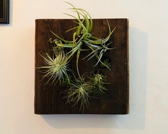 AIR PLANT holder and display, made of a thick chunk of reclaimed Douglas fir