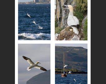 Set of 4 Greetings Cards - Gannet Design Blank Inside Bird Photo Card - Photography