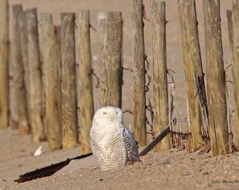 A Snowy Owl at Assateague