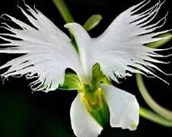 White Dove Orchid/Egret Flower * Seeds  ... seeds galore