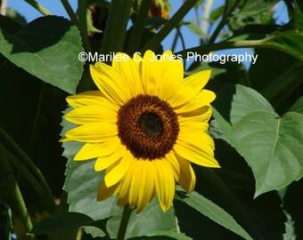 Sunflower Fine Art Vermont Photo Print: Multiple Sizes Available