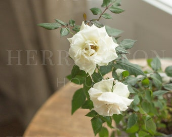 White rose vertical stock photo | Lifestyle stock photo - Flower stock image - Gardening stock photo - Blog stock photo - Instagram photo