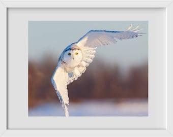 Bird Photography, Snowy Owl in Flight - Fine Art Print, Wildlife Photography, Winter, Owl Photograph, Ottawa Nature Photography, owl photo