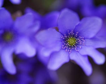 Blue Anemone Macro. Floral Photography, Floral Decor, Wall Art, Home Decor, Digital Download, Flower Photography