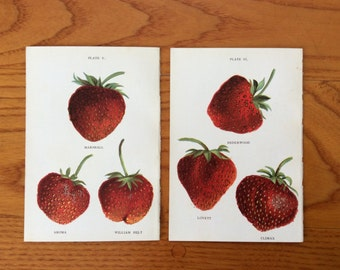 1899 strawberry fruit prints original antique berry berries lithograph set of two - marshall aroma william belt bederwood lovett climax