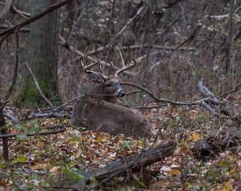 11pt Buck At Rest