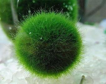 Japanese Live Marimo Moss Ball, Aquatic Plant, Grow Marimo Ball Fluffy, Great for Terrarium or Fish Tank Aquarium Decoration