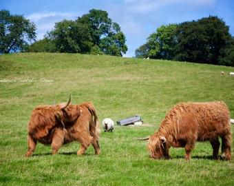 Scottish Highland cows - Highland cows photo - Scottish Highlands - Farm animal photo - Cow photography - Nature - Cow art - Wall decor