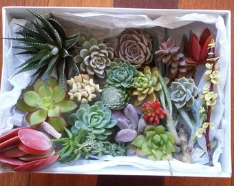 Succulent Plants, Succulent Gift Box, Wedding Favors, mothers day gift