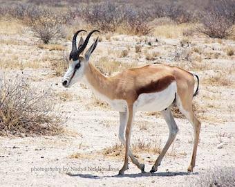 Springbok -  signed photo print, size 8x10 inches (20x25cm)