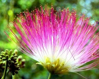 Mimosa Flower Elixir