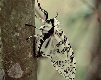 Giant Leopard Moth - Digital Image Download - Nature Photography - Digital License Included