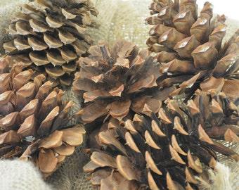 Ponderosa Cones-10 Pieces