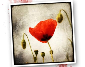 Papaver - Nature - photo art signed 20 x 20 cm