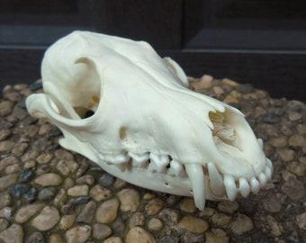 Ranch Raised Red Fox Skull