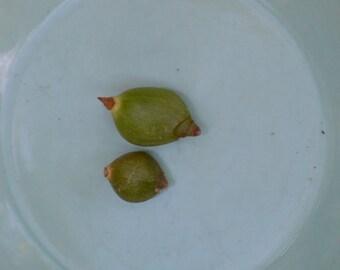 Pregnant Onion Live Succulent Plant Bulbs-HousePlant BOGO Sale Ornithogalum Longibracteatum