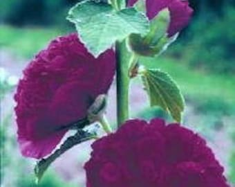 30 Old Fashioned Giant Violet Double Hollyhock Flower Seeds / Perennial