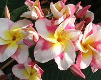 Kased Silp Plumeria, Rooted plant, Frangipani, Multi-colored Plumeria, White and Pink Plumeria, Tropical plant, Tropical flower