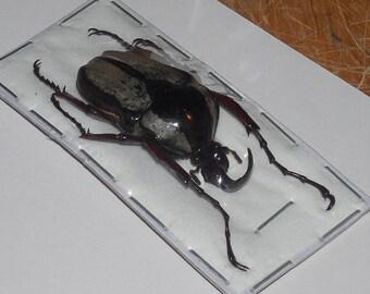 HERCULAISIA MELALEUCA HERCULES Beetle Real Exotic Taxidermy