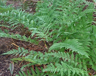10 Leather wood fern bare roots
