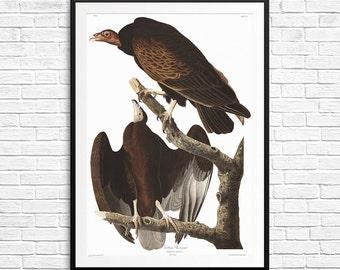 Turkey Buzzard, Turkey Buzzards, Turkey Buzzard print, Audubon art, Audubon etchings, Audubon reproductions, book of birds, American birds