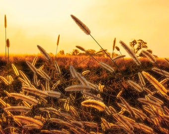 """Morning Grass Landscape Photography, 8x12 (and larger), """"Early Morning Glow"""" Nature Fine Art Photo Print, Nature Photograph, Botanical Print"""