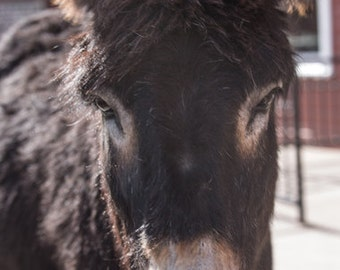 Donkey - Mule - Animal - Wild Donkies - Cripple Creek - Donkey in Cripple Creek - Fine Art Photography