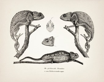 Chameleon Twins : Fine art print of a vintage natural history antique illustration 8x10 11x14 12x18 13x19 RE-03