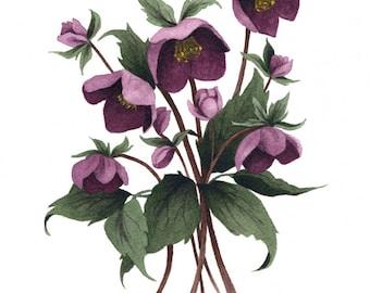 Fine Art Print of Original Watercolor Painting - Hellebore