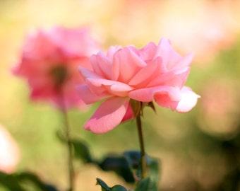 Pink Rose in Summer Rose Garden - Flower Photo Print - Size 8x10, 5x7, or 4x6