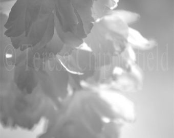 Black and White Print, Whispers of Spring, Art Photography, Soft, Spring Flower, Gentle Wall Decor, Floral Print, Magical Light, 8 x10,11x14