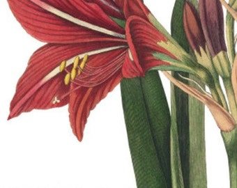 Amaryllis - Cross stitch pattern pdf format
