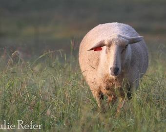 Sheep Photo Modern Country Wall Art