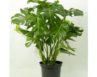 Swiss Cheese (Monstera Deliciosa) Houseplant