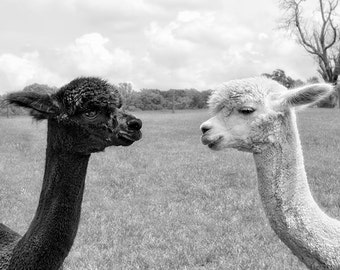 Animal Art Print, Alpaca Photograph, Print, Canvas Gallery Wrap, Animal Photography, Black & White, Couple, Monochromatic Art - Nose to Nose