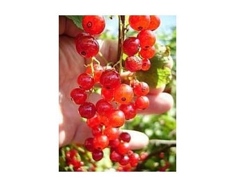 15 Red Currant Seeds-1223