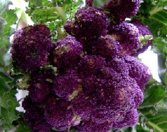 Broccoli Seeds 50 Purple Sprouting Seeds