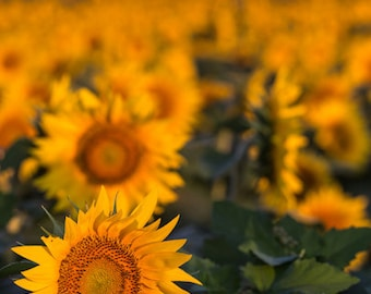 Sunflowers, Rows and Rows of them