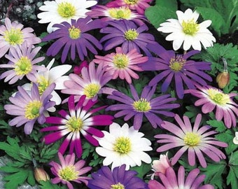 Grecian Windflower Mix 20 Bulbs - Anemone - Very Hardy! 5/+ cm Bulbs
