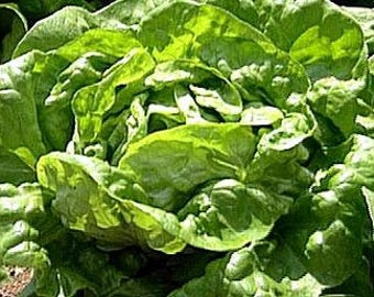 Lettuce Butterhead Buttercrunch Heirloom Seeds Non-GMO Naturally Grown Open Pollinated Gardening