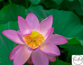 "Magnificent Flower Shot - ""Saluting Lotus"" - Fine Art Photograph  (9.5"" x 13.25"" Print on 14"" x 18"" Board)"