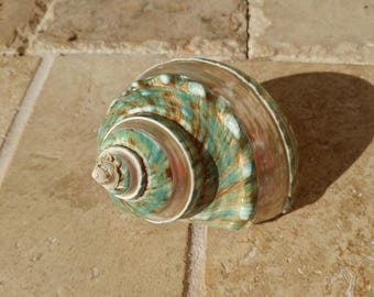 Turbo Shell -  Jade Turbo Shell - Natural Turbo - Polished Jade Seashell - Polished Jade Turbo - Pearlized Shell - No. 212