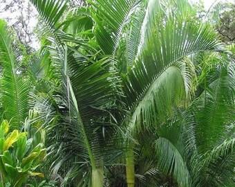 10 Rahoma Palm, Dypsis Nauseosa Palm Tree Seeds Rare
